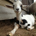 Heartland Farms goat.